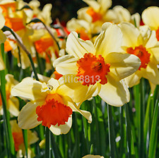 Mixed Color Narcissus Duo Bulbs Daffodil Plant Flower Seeds Scented Pastel AU