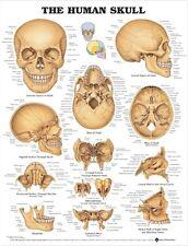HUMAN SKULL POSTER (66x51cm) ANATOMICAL CHART HUMAN BODY ANATOMY SKELETAL
