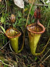 10 semi di NEPENTHES ATTENBOROUGHII semi di pianta carnivora