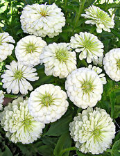 White Zinnia Seeds, Polar Bear, Bulk Zinnia Seed, Heirloom Flower Non-gmo, 400ct