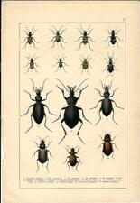 Stampa antica INSETTI COLEOTTERI Cicindela Carabidae 1893 Antique print insecta1