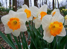 """5 Large Cupped Daffodil Bulbs- """"Slim Whitman""""~Pre Chilled for Spring Planting"""