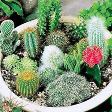 100 Samen Mischung Kakteensamen Kaktus Sukkulente Seeds Getopfte Bonsai Pflanzen