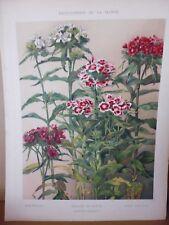 Botanique: Gravure couleur in folio oeillet de poete