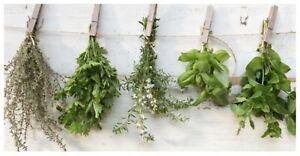 6 x Rosemary Blue Lagoon Garden Herb Plug Plant