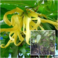 Cananga odorata Tree Plant  Ylang-ylang Fragrant Flower From Thailand Tall 20''