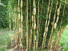 Fargesia Robusta Ping-wu - Bamboo in 9cm pot