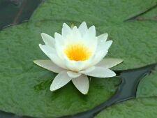 nenuphar blanc  plante bassin nymphea pond 30/80cm