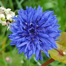 Kornblume Blau / Cenataurea cyanus -  ca. 5000 Samen Megapack