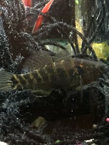 """1 Fat Sleeper Goby Texas Fish Sm ass 3.5-4"""" Jade Gobie Colorful Fresh Water Pet"""