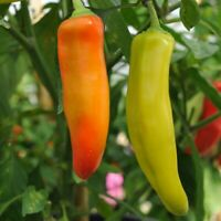 seeds /'KINGS/' PREMIER QUALITY habanero orange hot chilli  pepper 442