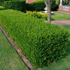 JAPANESE BOX Buxus Microphylla var. japonica hedging plant in 140mm pot