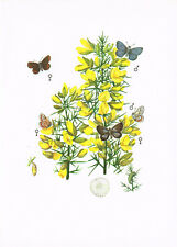 Silver Studded Blue - 1968 Vintage Butterfly Print by E. Mansell