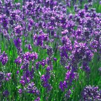New Pack x6 Traditional Lavender 'Vera' Perennial Flowering Plug Plants