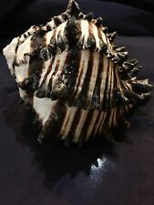 "4"" to 6"" BLACK MUREX  SEA SHELL HERMIT CRAB  TROPICAL AQUARIUM  CRAFT"