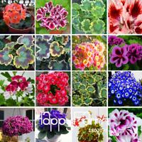 Purple Geranium Bonsai Perennial Flowers Pelargonium Peltatum 100 PCS Seeds 2019