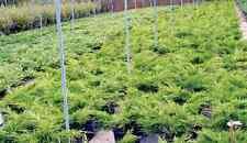 Juniperus - Ginepro tappezzante vaso 18 (OFFERTA 20 piante)