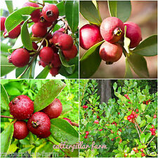 Delicious Cherry Guava 50 Fresh Seeds,Free shipping, Rare Fruit Seeds