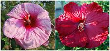 Hibiscus Moscheutos lot N4: ROSE X ROUGE VIF, fleur de 26cm!!! 15 graines
