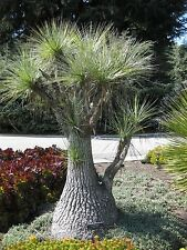 Beaucarnea Gracilis-Coda di Cavallo Palm - 25 Semi