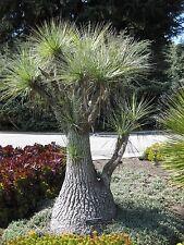 Beaucarnea gracilis - Pony Tail Palm - 25 Seeds