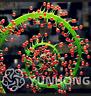 100 Pcs Seeds Aurora Drosophyllum Bonsai Succulent Rare Flowers Garden Plants N