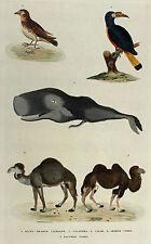 WAL wale KAMEL Camel DROMEDAR CALAO orig Kupferstich koloriert HARRISON 1785
