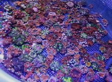 Rock Flower Anemones 10 pack