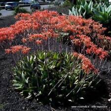 ALOE SAPONARIA SIN. ALOE MACULATA V18 1 Pianta succulenta 1 Plant Succulent