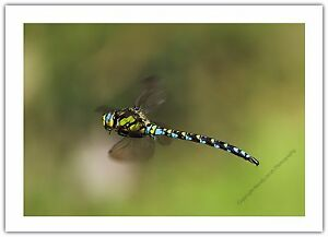 Dragonfly Southern Hawker Insect - Greetings Card Birthday / Blank Notelet