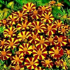 French Marigold Court Jester Tall Beneficial Plant for Gardens Non-Gmo 100 Seeds