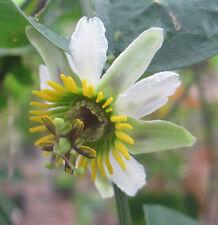Passiflora brighami Rare 8 seeds