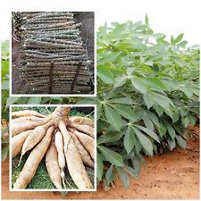 Cassava 3 Cuttings, Manihot esculenta Crantz Casana Manioc Tapioca plant, 12''
