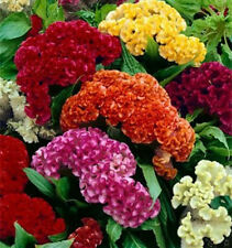Celosia Crested Cockscomb Mix 500 seeds * Cut Flower * easy grow * CombSH A74