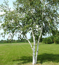Birch Tree Seeds - WHITE - Betula Papyifera - Native Canadian Tree - 20 Seeds