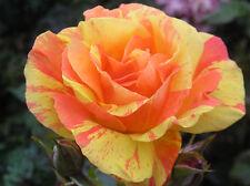 TENACIOUS - 4lt Potted Floribunda Garden Bush Rose - Orange and Yellow Stripe