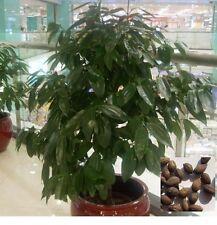 Zimt Baum Samen 00318
