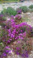 15 Cuttings Ice Plant Pretty Lavender/Purple Ground Cover Succulent Flower