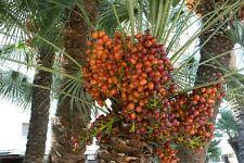 5 Seeds Medjool Date Palm Organic Dry Seeds Bonsai Phoenix Dactylifera