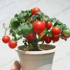 100pcs Dwarf Tomato garden organic fruit and vegetable seeds indoor plant seed