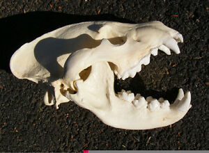 Huge striped hyena skull taxidermy replica cast SCI #1 in the world