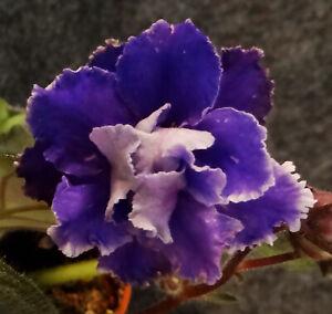 African violet Ocean Surf live plant in pot standard