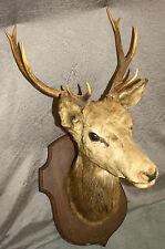 Tête de cerf / trophée de chasse 10 cors