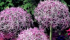 Allium cristophii (Star of Persia) x 20 seeds. Ask for combined postage LS
