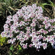 IBERIS SEMPERVIRENS 'COMPACTA' HARDY PERENNIAL PLANT APPROX.40 SEEDS PER PACK