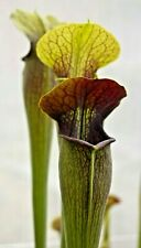 Sarracenia alata - Carnivorous pitcher plant - 20 Seeds