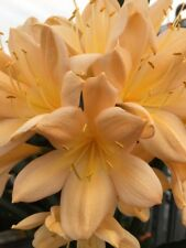 3 x Clivia Miniata - PEACH seeds. UK National Collection holders