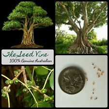 50+ SACRED FIG TREE SEEDS (Ficus religiosa) Bodhi Indian Hindu Medicinal Bonsai