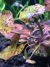 Red Tiger Lotus (Nymphaea zenkeri) - Buy3Get1Free - Live Aquarium Red Plant