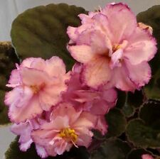 African violet New Year's Eve live plant in pot
